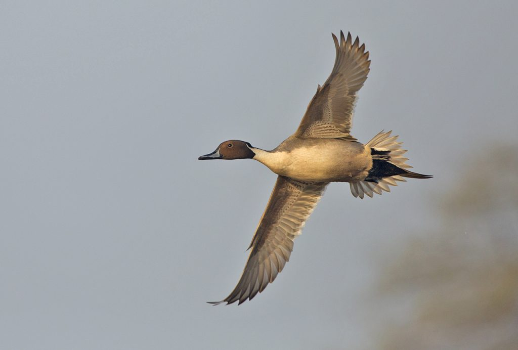 Northern-Pintail-Male-1024x692.jpg