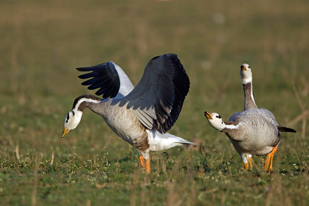 Bar-Headed-Geese-Behaviour-1024x682.jpg
