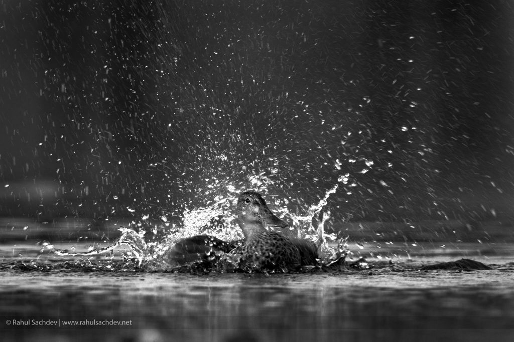 The-Shoveller-Splash-1024x683.jpg